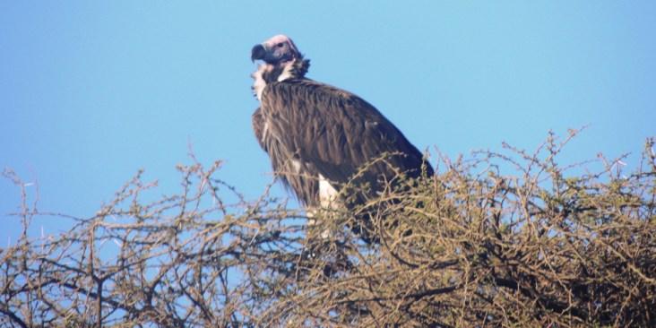 amboseli-vulture