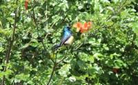 naivasha Sunbird