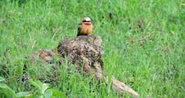 hells gate bee-eater