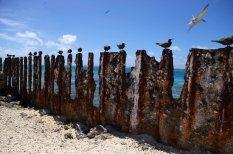 Brown noddies on the deteriorating seawall