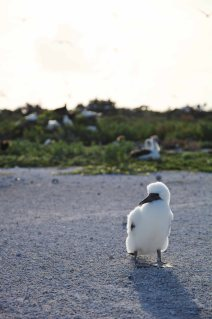 Booby chick.