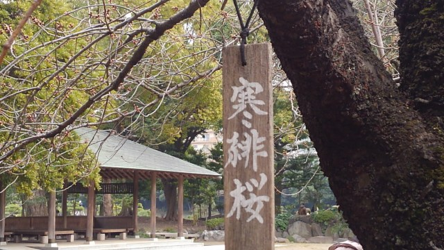 清澄庭園緋寒桜