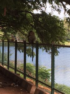 A monkey at Lalbagh