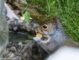 Grey Squirrel - Softening a bread crust in the bird bath