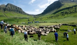 Shepherds captures a large flock of sheep driven from the mountain top to the valley.