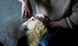 The sheeps all have an individual ear cut showing at which farm they belong