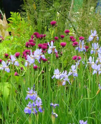Cirsium in Hugo Bugg's garden
