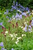 Lysimachia atropurpurea 'Beaujolais in 'The Waterscape garden'