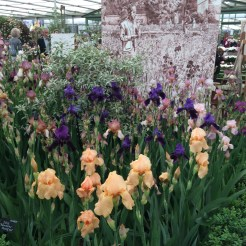 The Cedric Morris iris display at Chelsea 2015