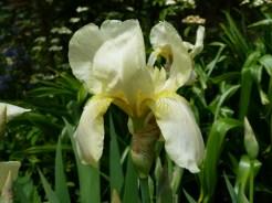 Iris 'Cleo Murrell'