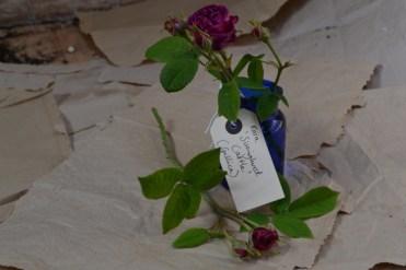 Rosa 'Sissinghurst Castle'