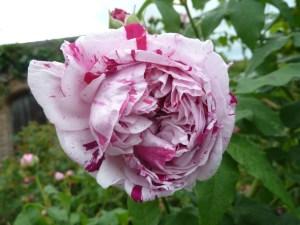 Rosa 'Variegata di Bologna'