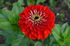 Zinnia 'Benary's Giant Scarlet'