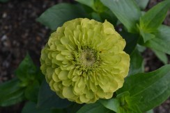 Zinnia 'Benary's Giant Lime'
