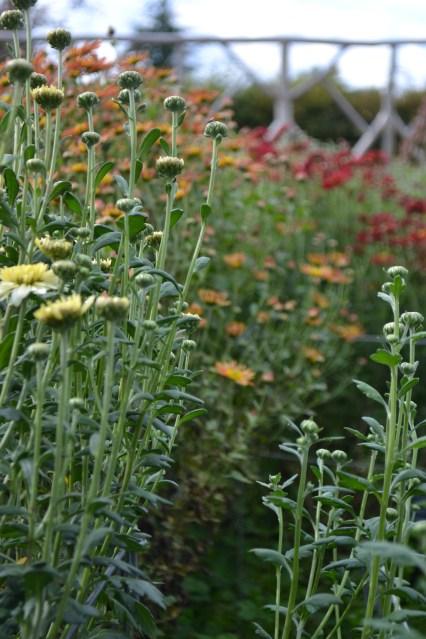 Chrysanthemum 'Pebble White' and 'Duchess of Edinburgh'