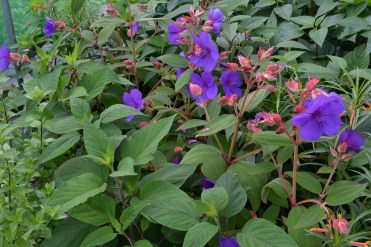 Tibouchina stock plants