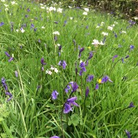 Bluebells and Lady's Smock