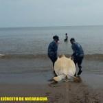 Fuerza Naval ocupa y libera tortugas en el Caribe