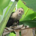 Liberan monos y loras en reserva privada en Caribe Norte