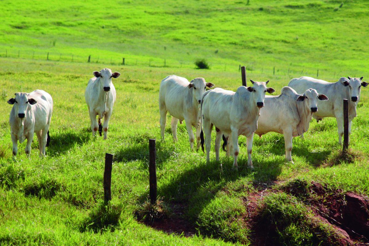 Resultado de imagem para gado pastando