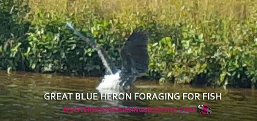 Great Blue Heron Foraging For Fish