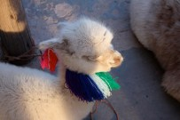 Couldn't resist slipping this little alpaca in