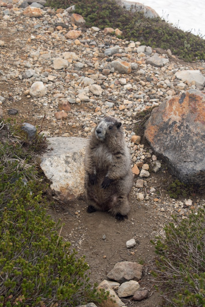 A marmot stands upright on a pebbly surface
