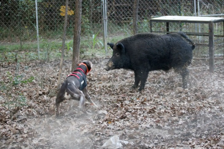 Ranger baying Pee Willy the hog at J Cross Catahoulas, November 2009–Image © 2009 Sandy Yorston.