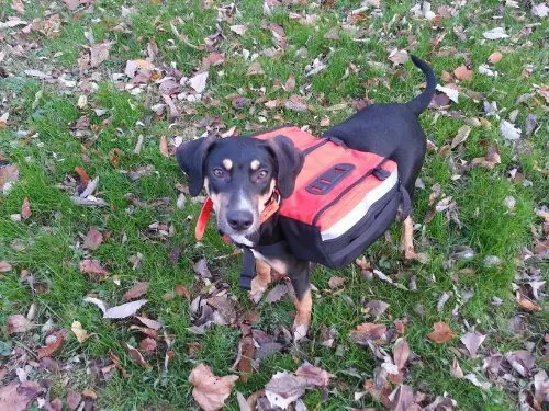 Halo wearing an orange WolfPacks Banzai dog backpack.