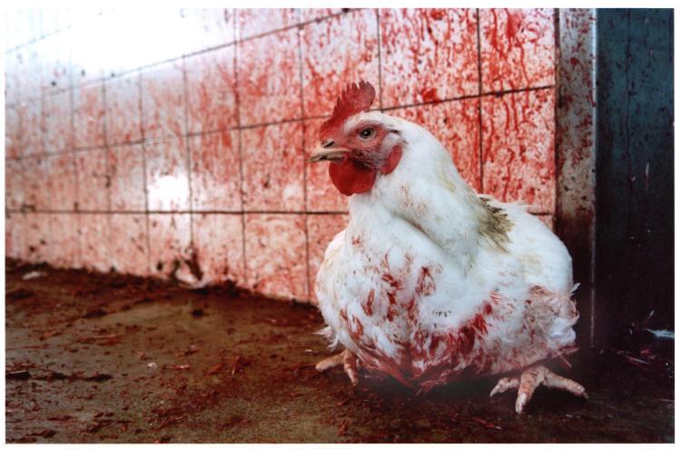 курица в крови