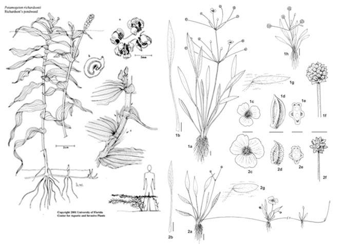 Planche de Potamogetons, plantes d'eau hydrophiles