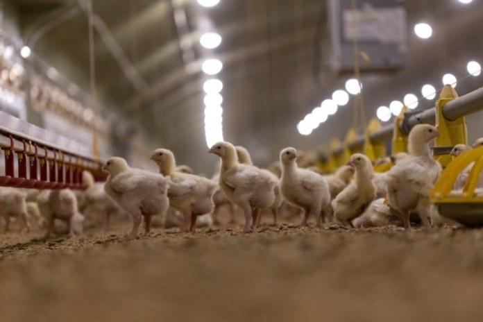 Nota sobre decisão das Filipinas de suspender importação de carne de frango