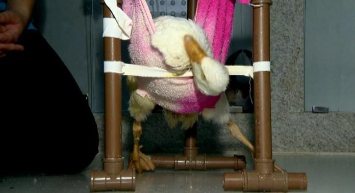 Ganso faz fisioterapia em hospital de pets exóticos no ES