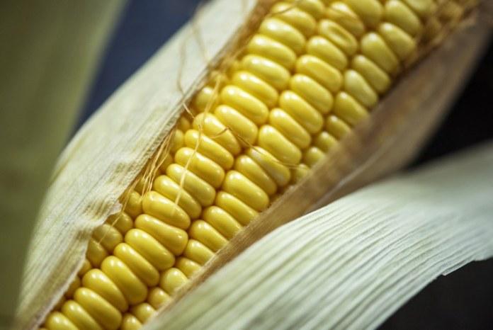 Governo monitora enfermidade do milho