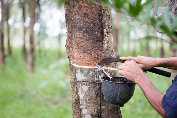 Produtores de borracha natural podem aderir ao sistema de produção integrada