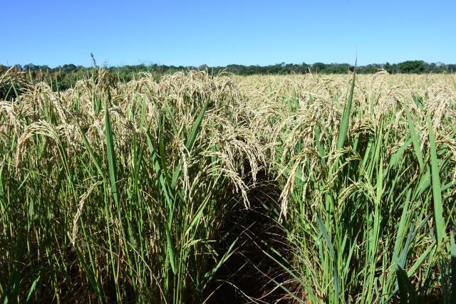 Publicado zoneamento agrícola do arroz de sequeiro e irrigado safra 2021/2022