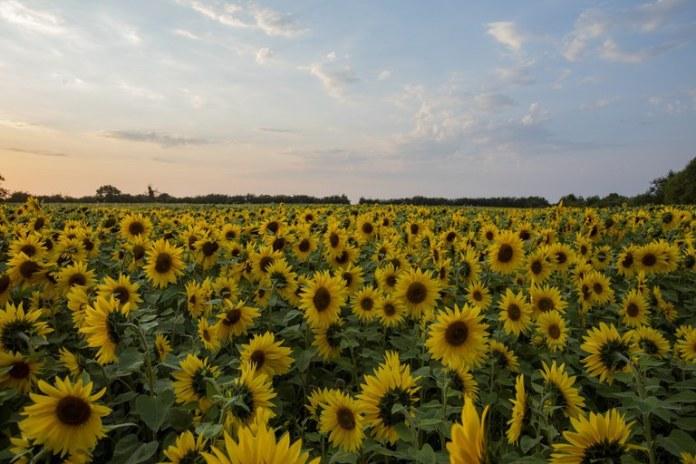Zoneamento agrícola de risco climático para girassol é atualizado no Brasil