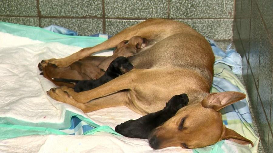 Cadela de rua grávida procurou ajuda em clínica