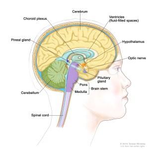 brain stem (Patient)  Siteman Cancer Center