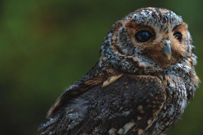 An adult female flammulated owl.