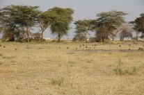 Baboons across the landscape in Amboseli National Park. Submitted by Susan Alberts.