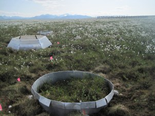 Passive experimental warming chambers in Toolik, AK. Current UPE student, Amanda Koltz is using these chambers to study the affect of warming on wolf spiders in the Arctic.