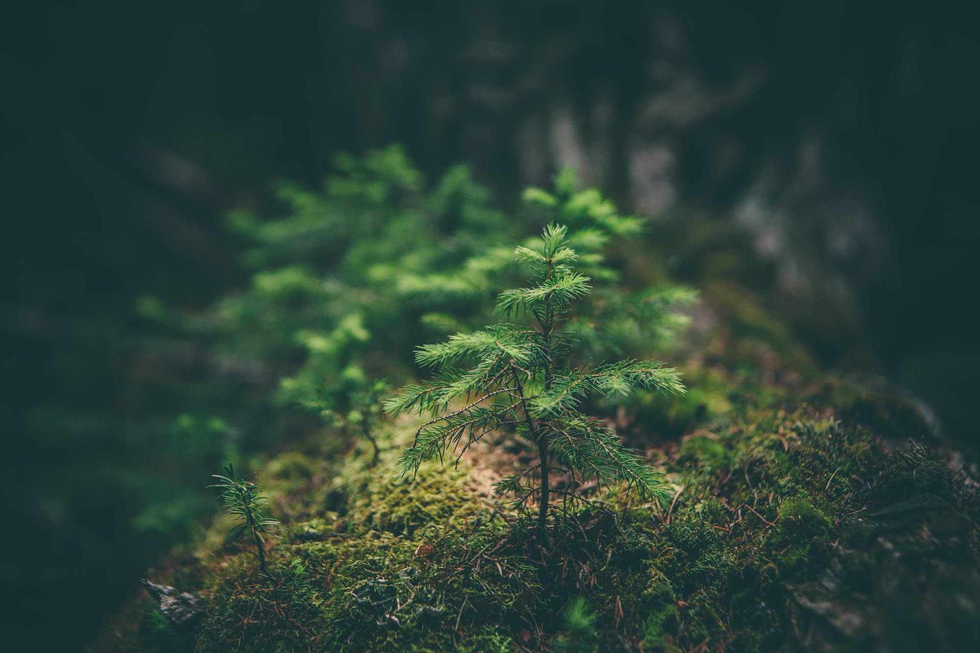 Close up a a pine tree sapling