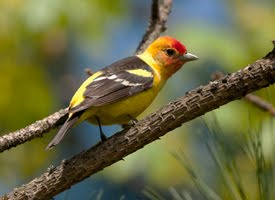 Western%20Tanager