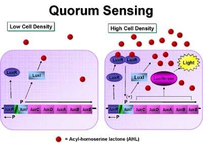 quorum sensing diagram