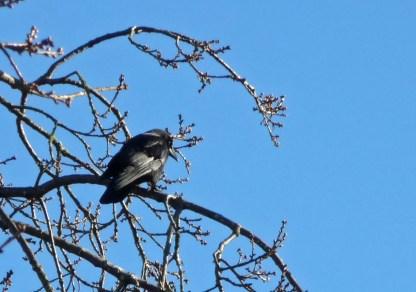 Single crow, photograph by Sandy Shreve