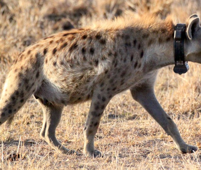 Communication And Movement Dynamics In Spotted Hyenas