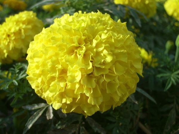 Marigold Flower   Flowers Thailand Broadly  there are two genuses which are referred to by the common name   Marigolds viz   Tagetes and Celandula  Tagetes includes African Marigolds  and