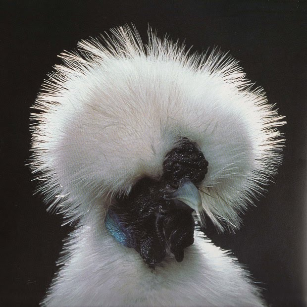 Silkie Chickens Sustainable Resources 12
