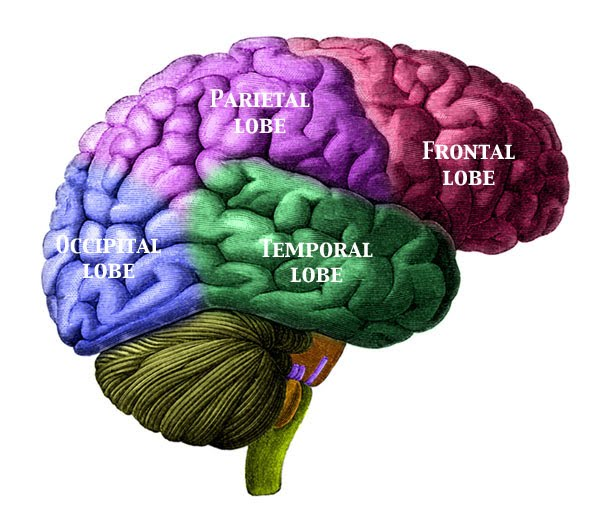 The Cerebral Cortex - The Genetic Geography of the Brain